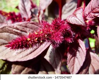 Purple Amaranthus beautiful flower. Princes Feather, Amaranth Velvet Curtains (Amaranthus cruentus), dark red inflorescence.