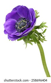 Purple anemone flower isolated on a white background