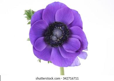 Purple flower white background images stock photos vectors purple anemone flower on white background mightylinksfo Choice Image