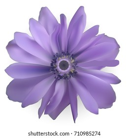 Purple Anemone Flower. Realistic  Illustration
