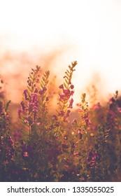 Purple Angelonia with orange sunlight background.(angelonia narrow leaf angelon)