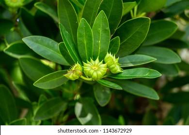 Purple anise (Illicium floridanum) flower buds, green - Davie, Florida, USA