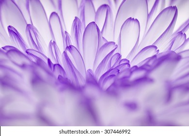 purple annealed Chrysanthemum on black background