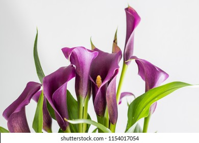 Purple Arum Lilies (Zantedeschia), with white background.