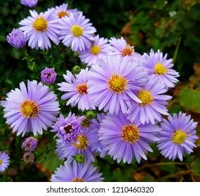 Purple Aster - autumn flowers in the garden