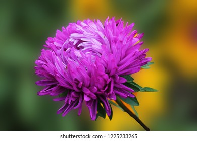 purple aster basks in the sunshine of a summer day. Aster flower on an isolated green background