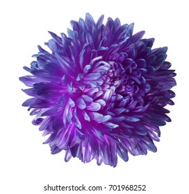 Purple aster flower isolated on white background with clipping path.  Closeup no shadows.  Nature.
