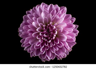 purple aster flower macro