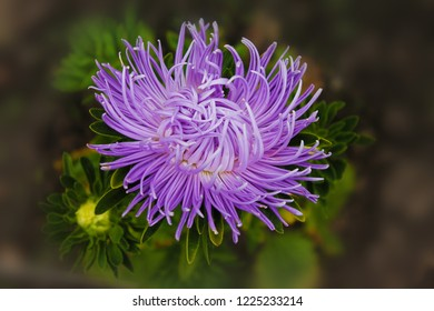 . Purple aster flower rejoices in summer. purple aster branches on an isolated green background