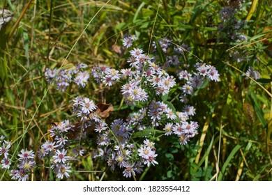 Purple Aster Flowers with Bee, Seven Mile Creek Park, Minnesota