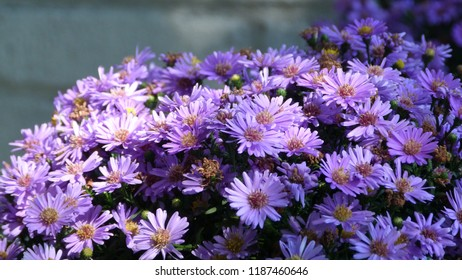 Purple Aster Flowers in the Morning Light with a Brick Background