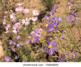 Purple aster flowers with pink and white wildflowers in background of desert landscape.