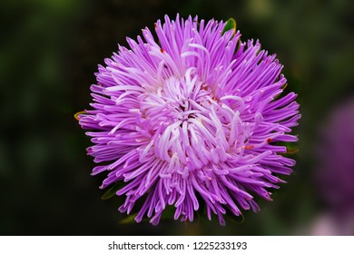purple aster meets the dawn in the city park. Aster flower on an isolated background