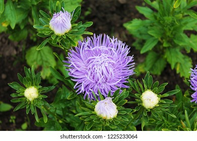 Purple aster surrounded by white buds. Purple aster gortennziy on an isolated background