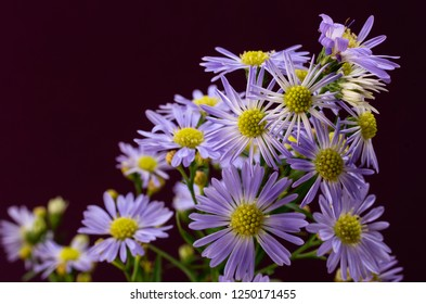Purple Asters against a dark red background with copy space.