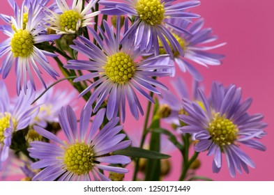 Purple Asters against a pink background.