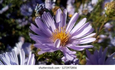 Purple Astra. Beautiful, bright, flower.