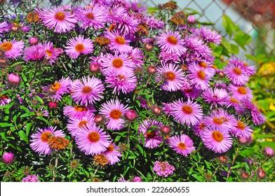 purple autumn flowers. Wild pale purple Michaelmas Daisies (Aster sp.) in flower in early Autumn.