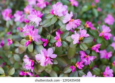 purple azalea flowers - Shutterstock ID 1292435458