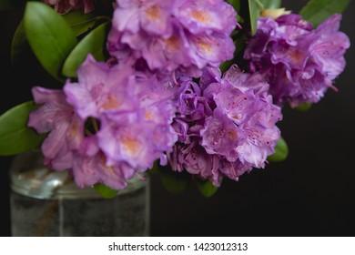 Purple azalea on a black background. Flowers of azalea.