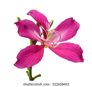 Purple Bauhinia flower isolate,on white background
