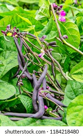 Purple beans in a vegetable garden