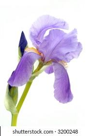Purple bearded iris isolated on white