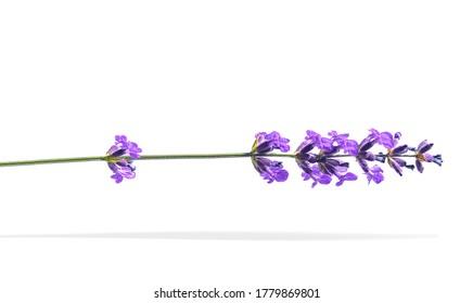 violette, schöne Lavendelblume einzeln auf weißem Hintergrund.