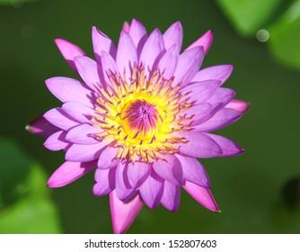 Purple beautiful water lily