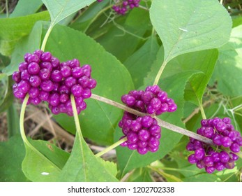 Purple Beauty Berry fruit and green leaves