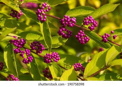 Purple Beautyberry (Callicarpa bodinieri)