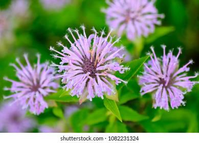 Purple bee balm Bergamot (Monarda fistulosa) flowers.