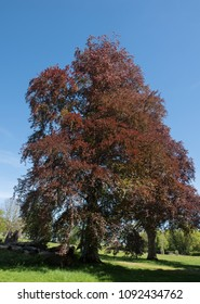 Purple Beech Tree (Fagus sylvatica 'Atropurpurea') Against a Bright Blue Sky Background in Rural Devon, England, UK