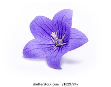 Purple Bell flower isolated on white background