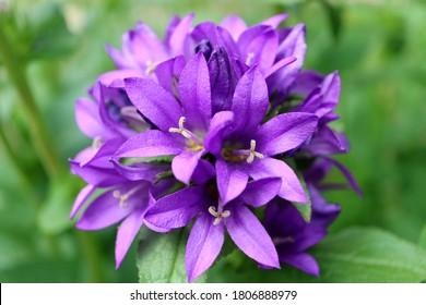 Purple Bell flowers in the garden, Purple Campanula Glomerata,Purple Bell flowers macro,Beauty in nature