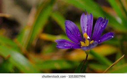 Purple Bermudiana, a wild flower that grows only in Bermuda during spring season.
