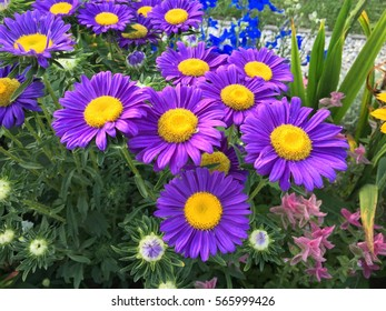 Purple and yellow flowers images stock photos vectors shutterstock purple big flowers in colorful summer garden mightylinksfo