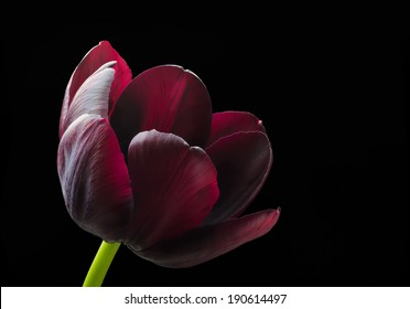 Purple black tulip.