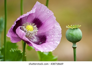 Purple blooming poppies macro shot