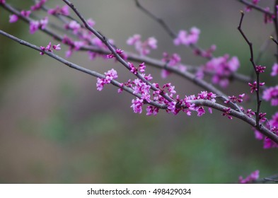 Purple Blooms on Tree Branch