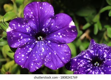 purple blossom with white dots of a hanging petunia, breed night sky