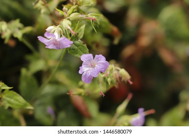 purple blue flowers of the Geranium pratense