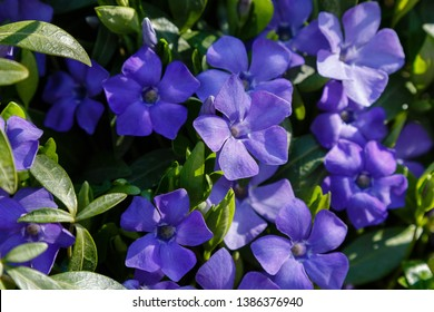 Purple blue flowers of periwinkle (vinca minor) in spring garden. Vinca minor L. - dwarf periwinkle, small periwinkle, common periwinkle, myrtle, creeping myrtle