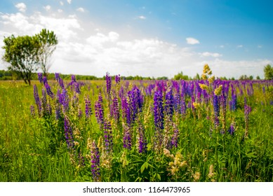 Purple blue lupines field. Lupine flower field landscape. Summer flower meadow with blue sky, white clouds and lonely tree. Bright floral background. Summer wildflowers valley scape. Bluebonnets lawn.