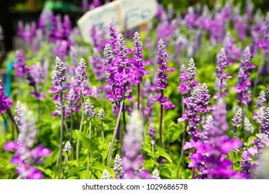 Purple Blue Salvia