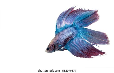 Purple Blue Siamese fighting fish (Betta splendens) isolated on white background.