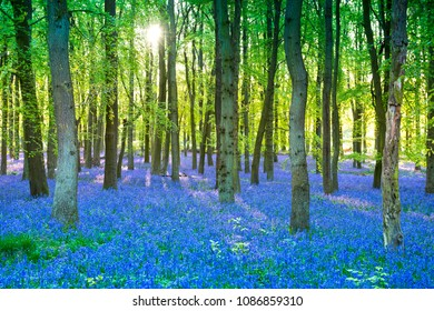 Purple bluebell woods in early morning sunrise ,Dockey Wood, Ashridge Estate,  England