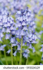 Purple bluebells in a flower garden with shallow depth of field