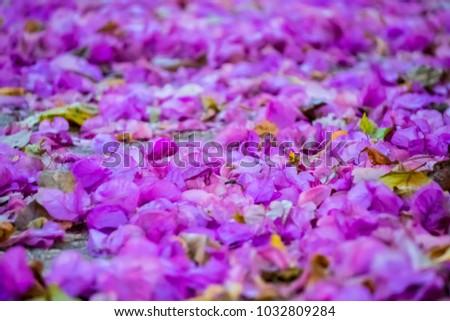 Purple Bougainvillea Flower Petals Filled Floor Stock Photo (Edit