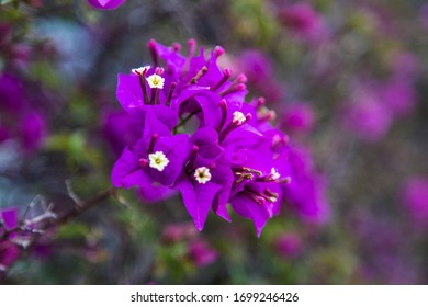 purple bougainvillea flowers with a blurred background